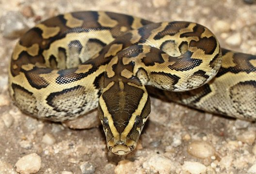 rock+python_21649