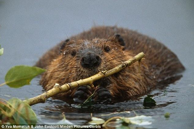 beaver3_57792