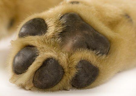 puppy_paw_4bdab881844b2_79833