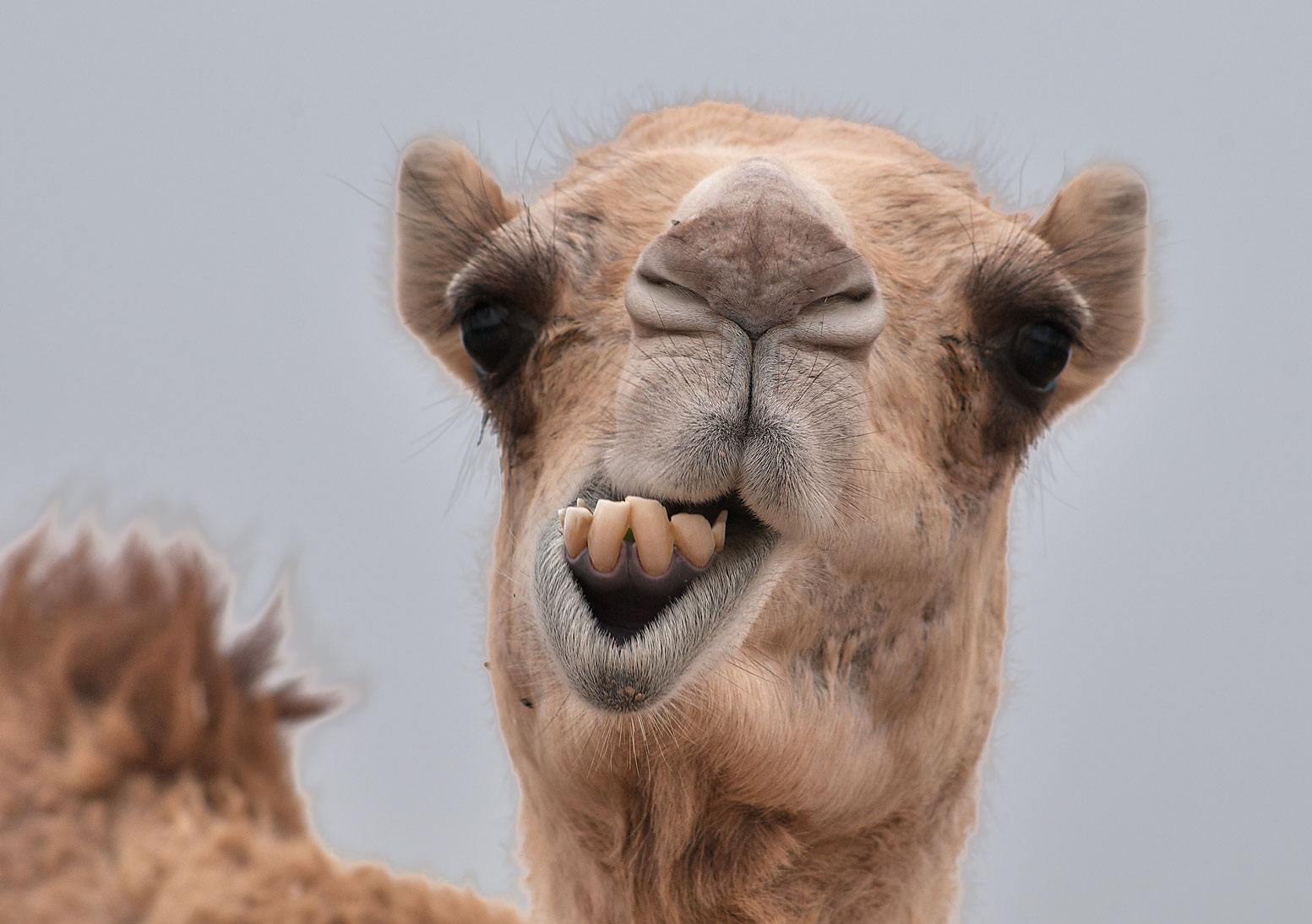 Tied in the Heat All Day, Angry Camel Bites off Owner's Head