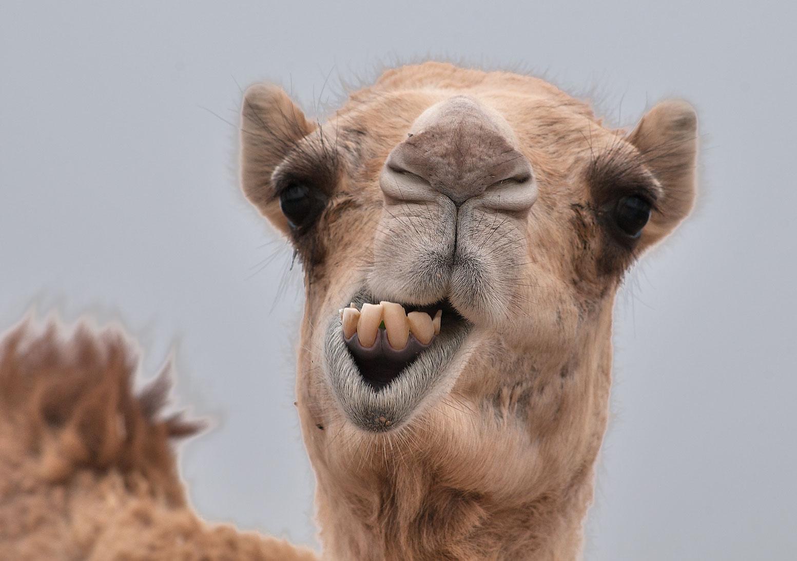 camel_122126