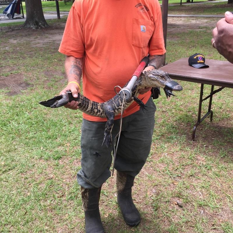Alligator 2_129678