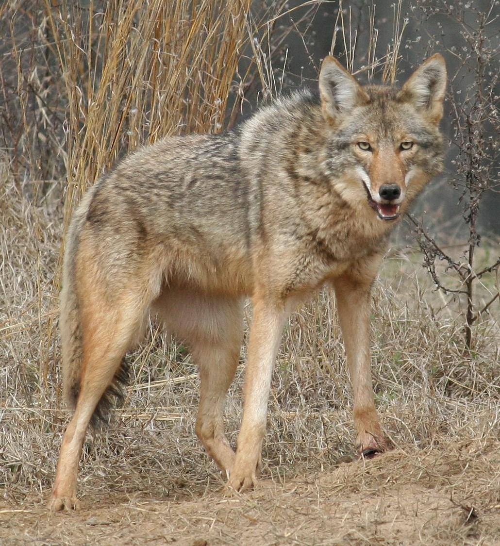 Coyote_SteveKyles_GADNR_251128