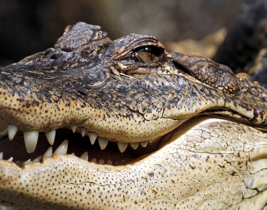 Alligator, Crocodile, Jaw, Marsh, Reptile, Teeth_318086