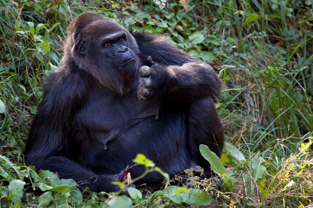 Shamba_western lowland gorilla_Zoo Atlanta 2_320229