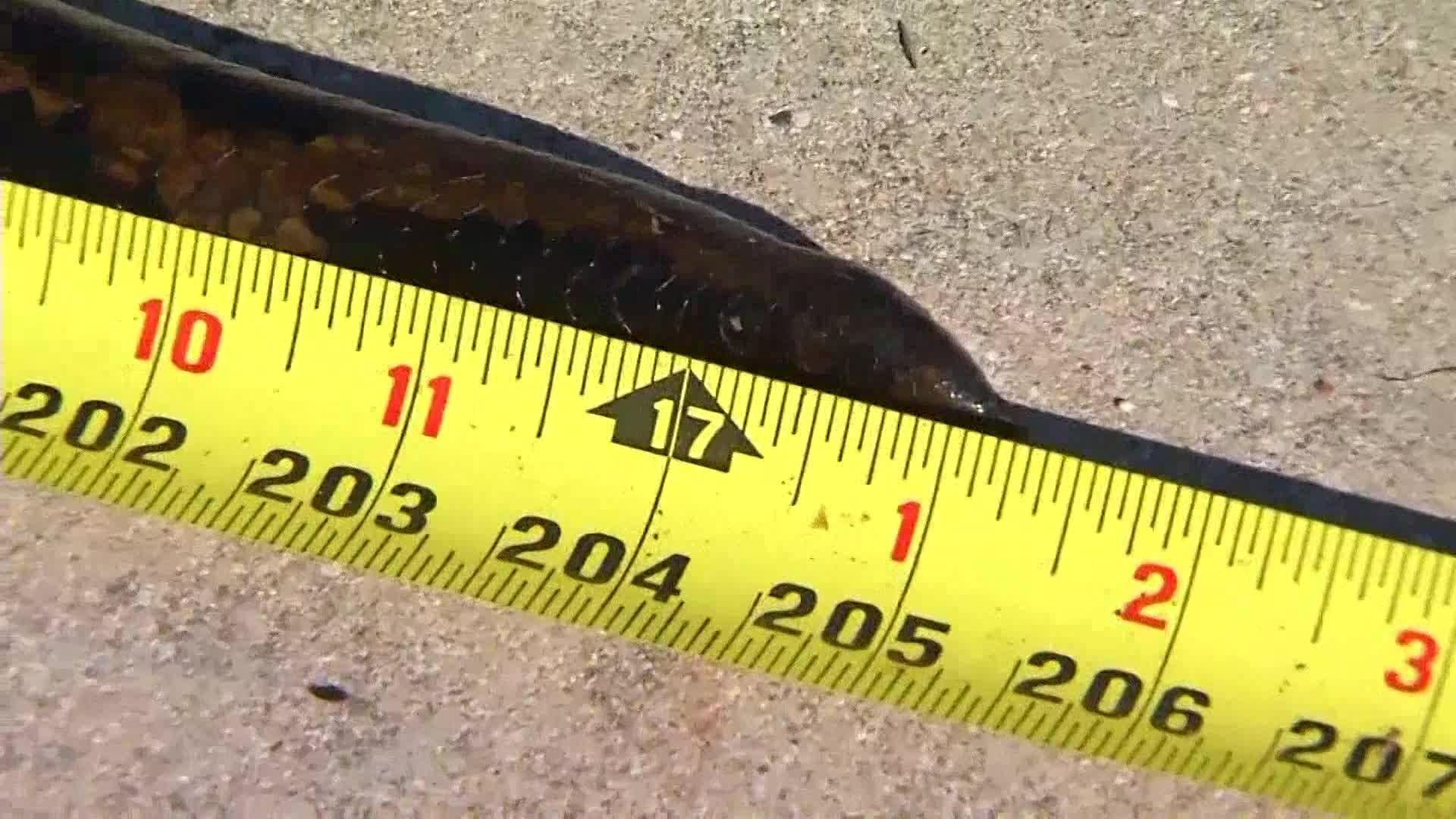 17 foot python_337623