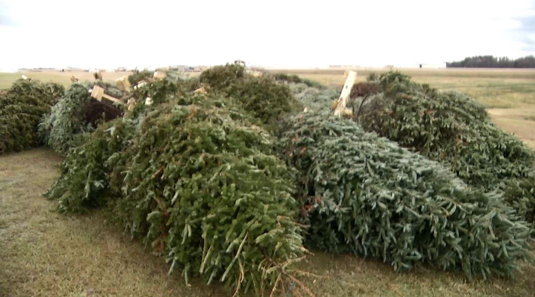 dead christmas trees_350904