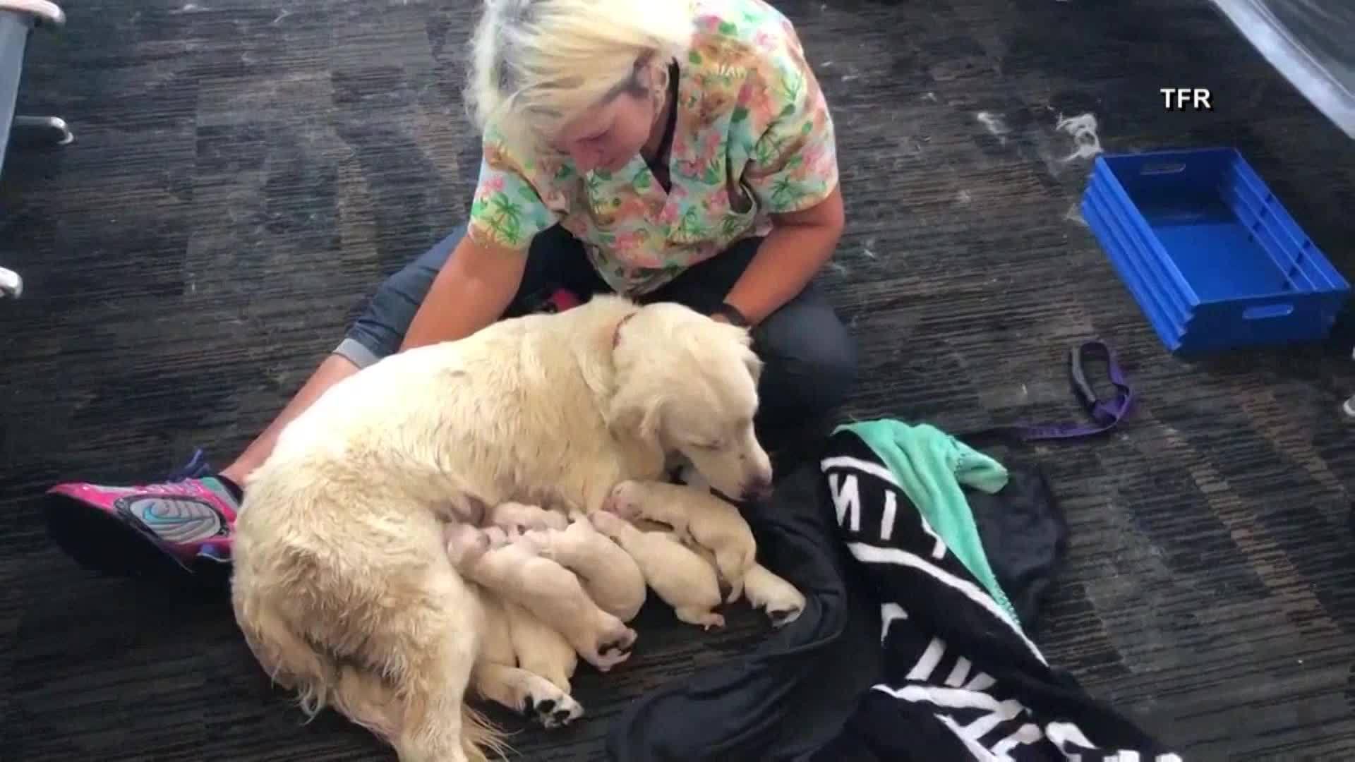 Service_dog_gives_birth_at_Tampa_airport_0_20180525205632