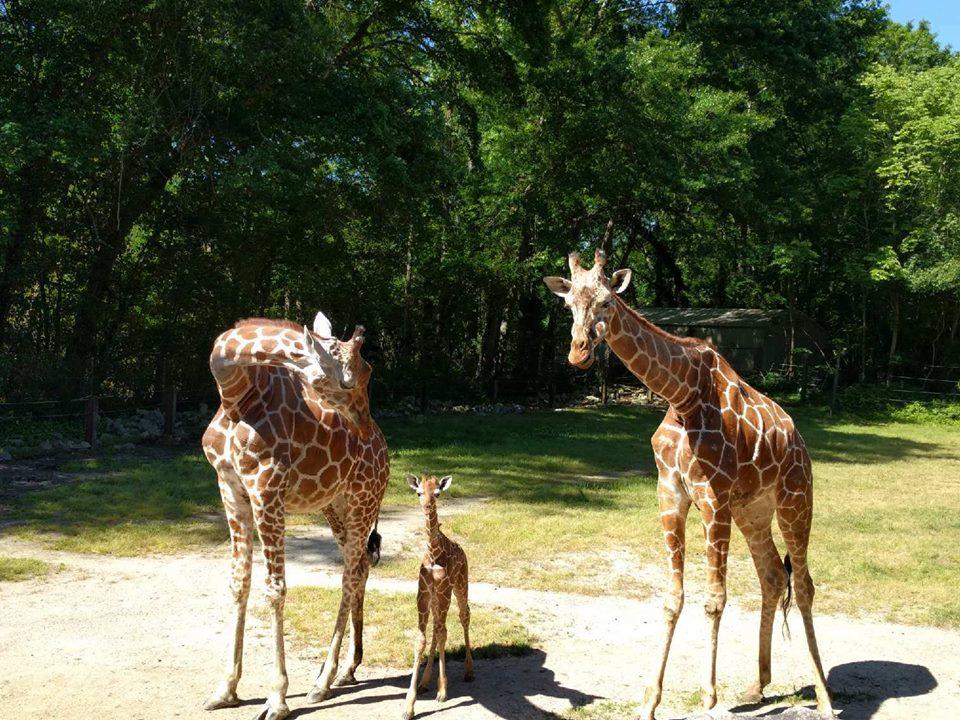 baby giraffe_1525168529030.jpg.jpg