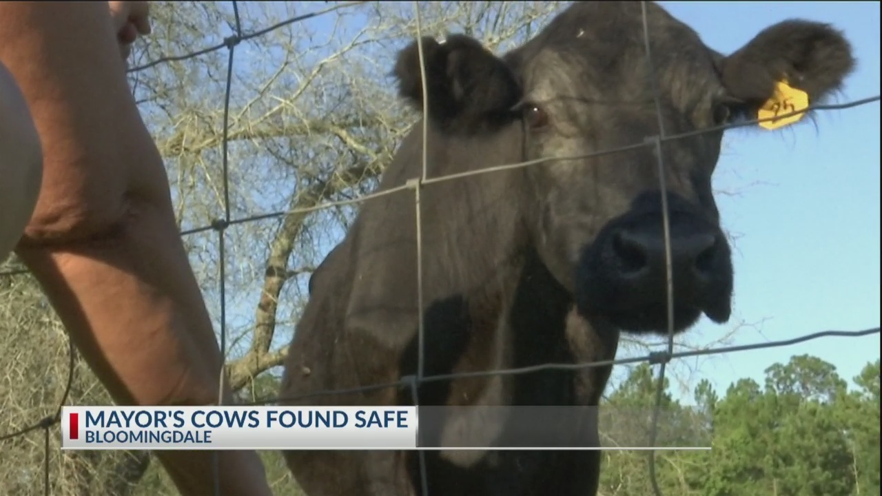Bloomindale Mayor's cows found safe