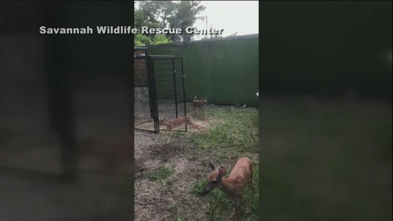 Fawn fun at Savannah Wildlife Rescue Center