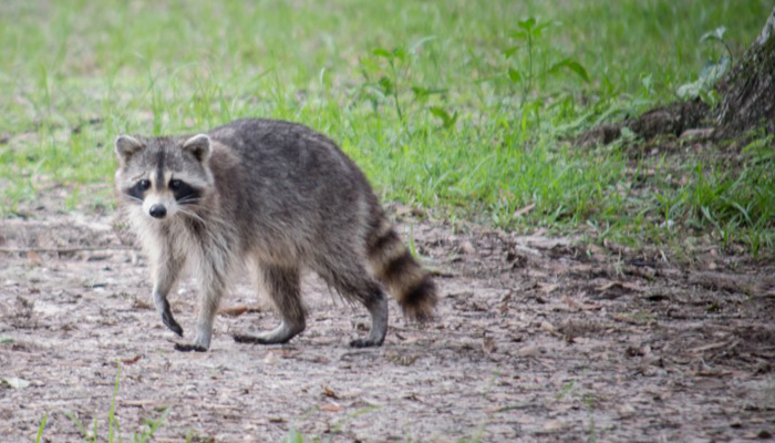 RACCOON_1533924865925.png