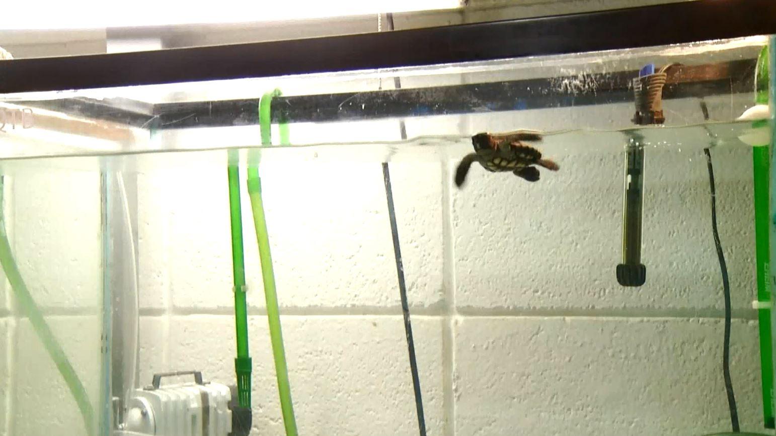 turtle hatchling 3_1534181837185.JPG.jpg