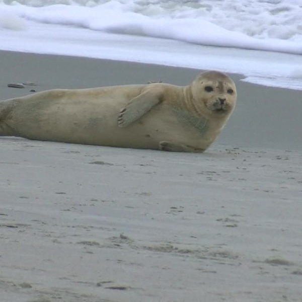 Seal comes ashore on Myrtle Beach