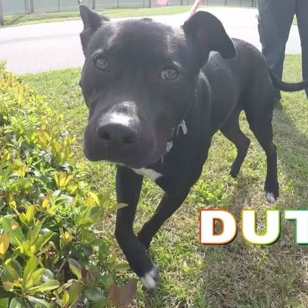 Don't miss Dutch! Available for adoption