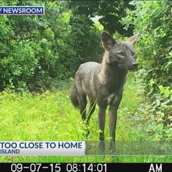 Some_Lowcountry_neighborhood_say_coyotes_0_20190228000406