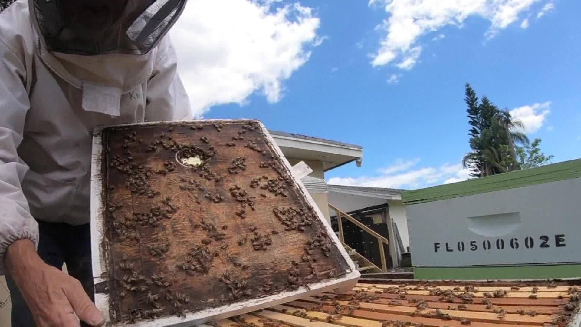 Florida honey bee population