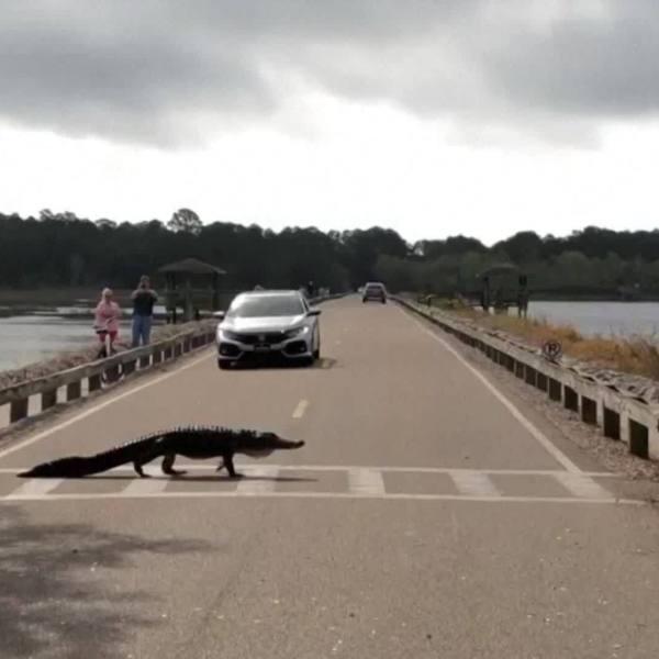 VIDEO: Alligator uses crosswalk