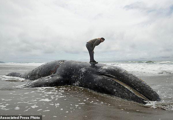 Gray Whales Wash Ashore