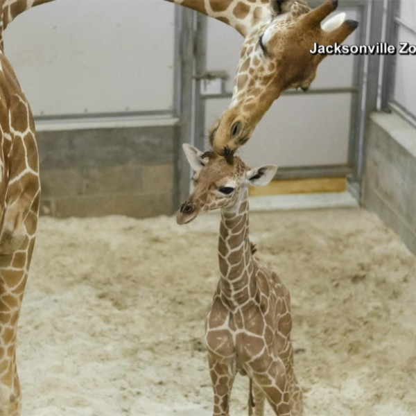VIDEO: Jacksonville Zoo welcomes baby giraffe