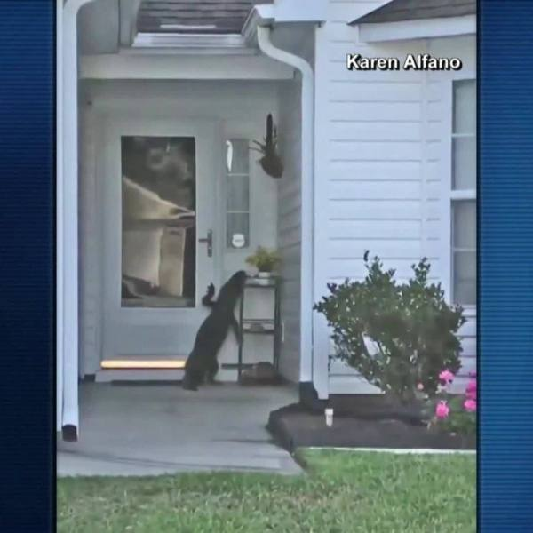 VIDEO: Gator tries to ring doorbell