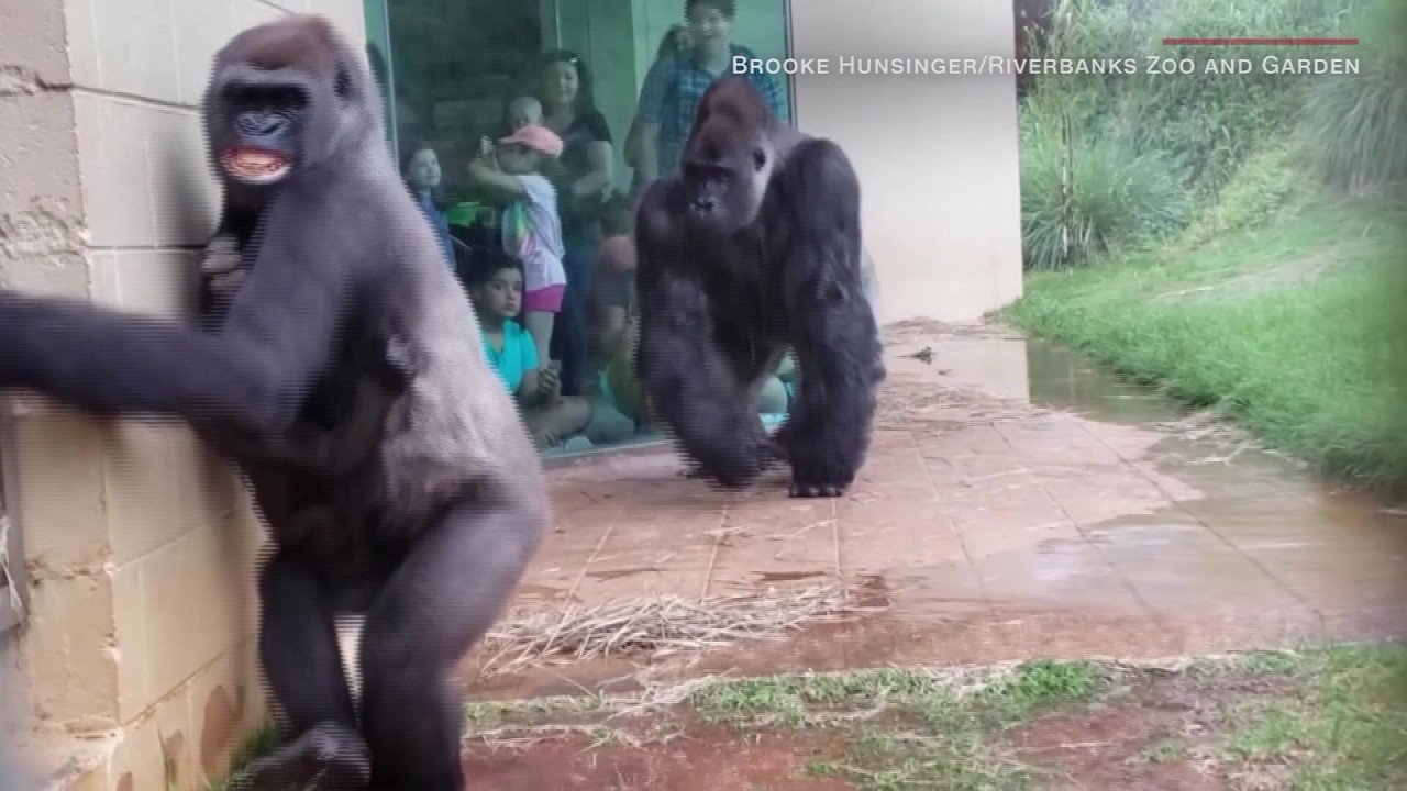 VIDEO: Rain hating gorillas at SC zoo go viral