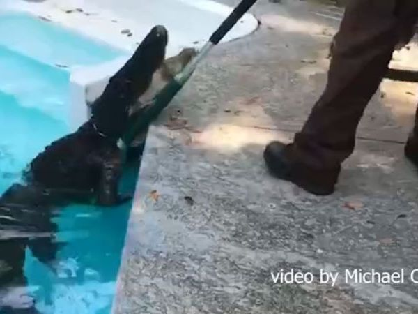 Gator breaks lasso being removed from Hilton Head pool