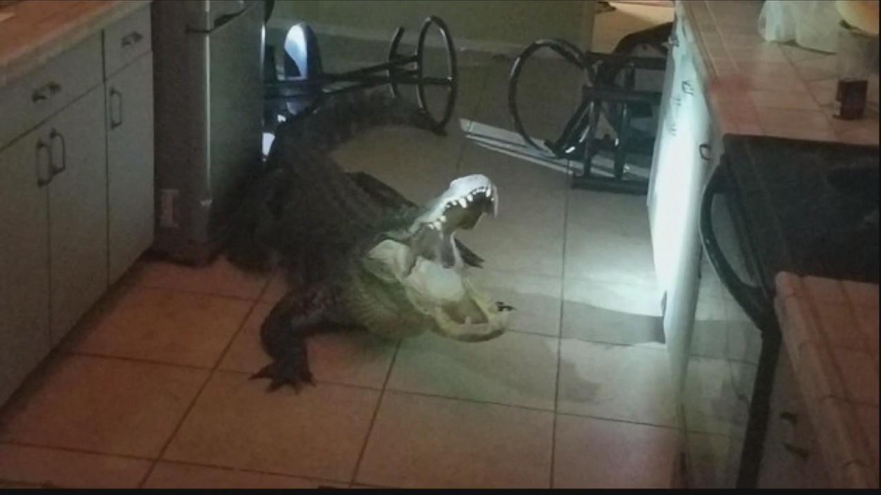Florida Alligator Invader