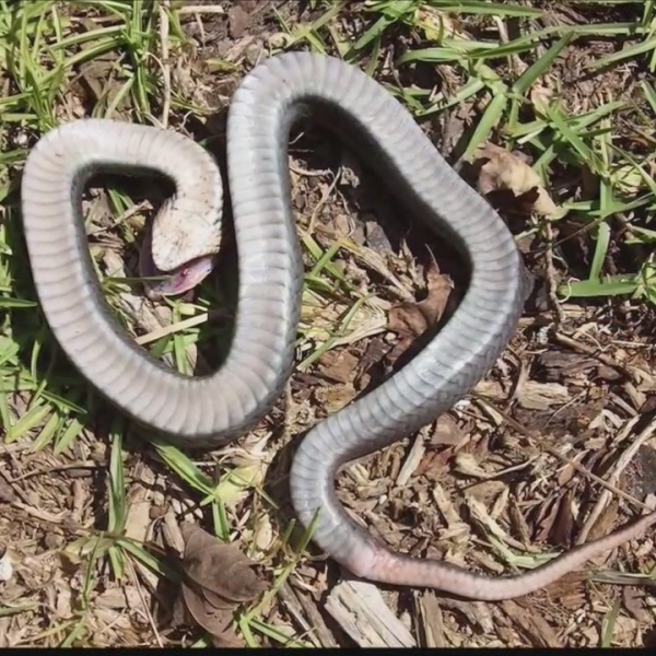 Zombie snakes play dead when threatened