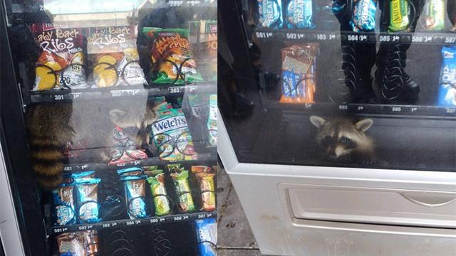 https://www.wsav.com/news/weird-news/caught-red-handed-raccoon-burglar-gets-stuck-in-high-school-vending-machine/